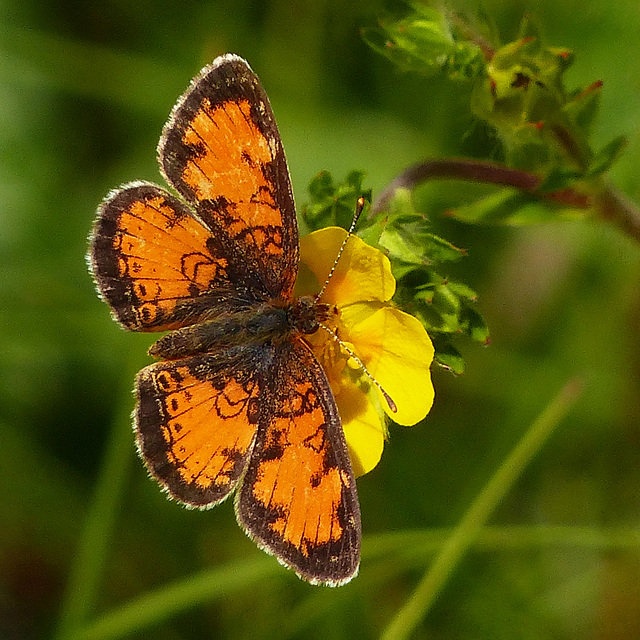 Pearl Crescent on Shrubby Cinquefoil