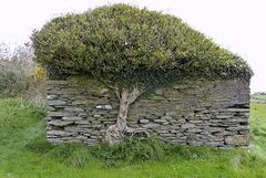 Isle of Man 2013 – Tree