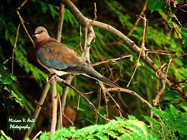 a pretty Israeli pigeon