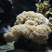 Koralle (Wilhelma)