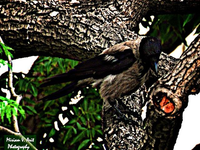 an Israeli crow...