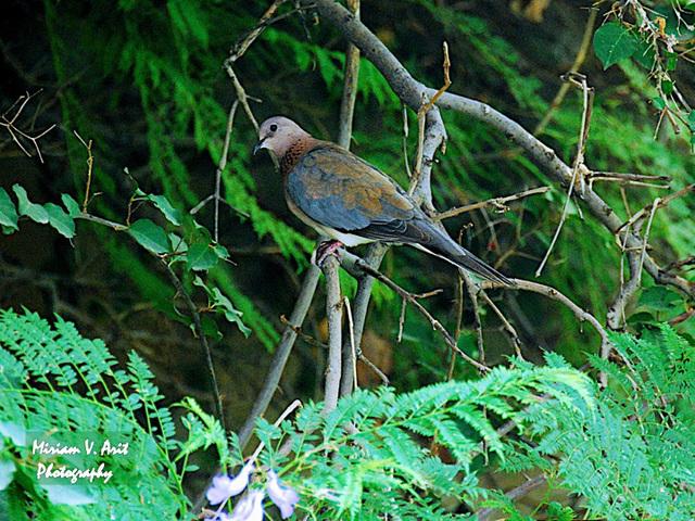 an Israeli pigeon..