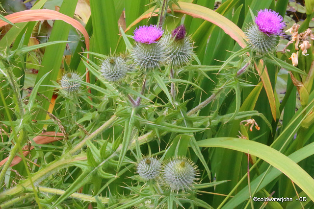 Scotch Thistle - all in focus this time!