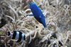 Blauer Vogelfisch und Vierbinden-Preußenfisch (Wilhelma)
