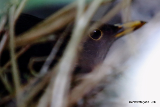 Blackbird deep in the Clematis on its nest