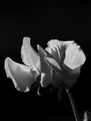 Sweet Pea - black and white