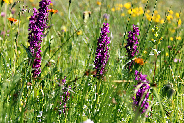 Knabenkräuter - wilde Orchideen