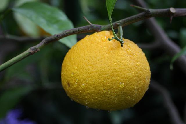 Zitrusfrüchte: Citrus (Wilhelma)