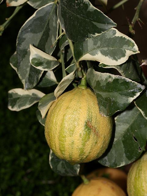 Zitrusfrüchte: Buntlaubige Zitrone  (Wilhelma)