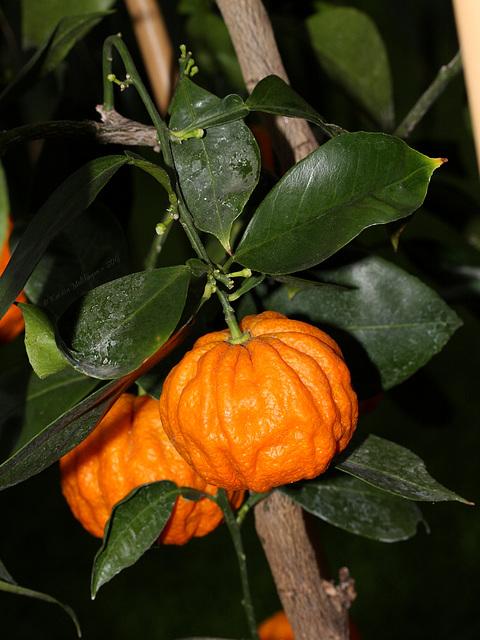 Zitrusfrüchte: Bizzaria (Wilhelma)
