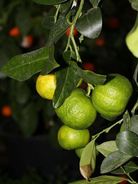 Zitrusfrüchte: Römische Limette (Wilhelma)