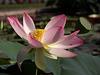Indische Lotosblume (Wilhelma)