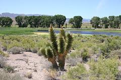 Joshua Tree, Pahranagat Lake, Nevada