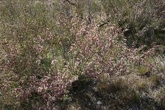 Desert Peach in Bloom