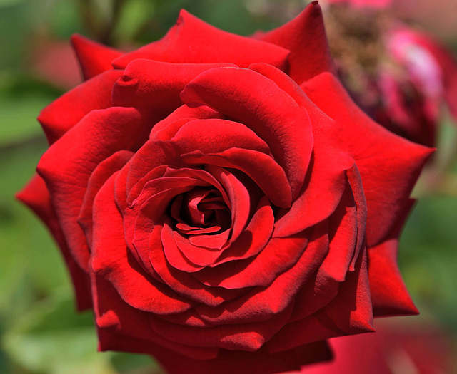 Macro sur une rose...