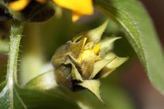 Knospe einer Sonnenblume