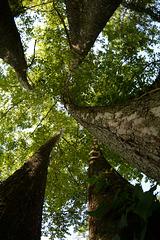 The tree of many trunks
