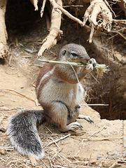 Borstenhörnchen (Zoo Basel)