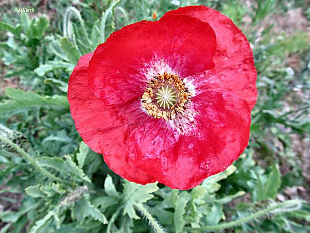 47 red poppy