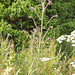 oaw - thistle (small)
