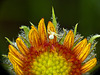 Crab Spider on Gaillardia