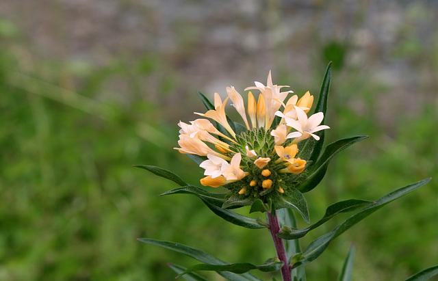 Collomia grandiflora (4)