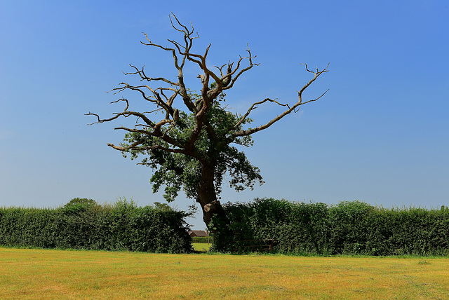 Old lonely tree, Haughton