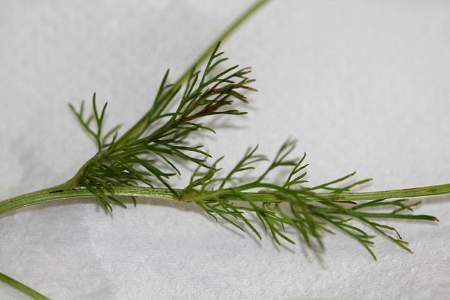 Matricaria perforata - Matricaire inodore (2)
