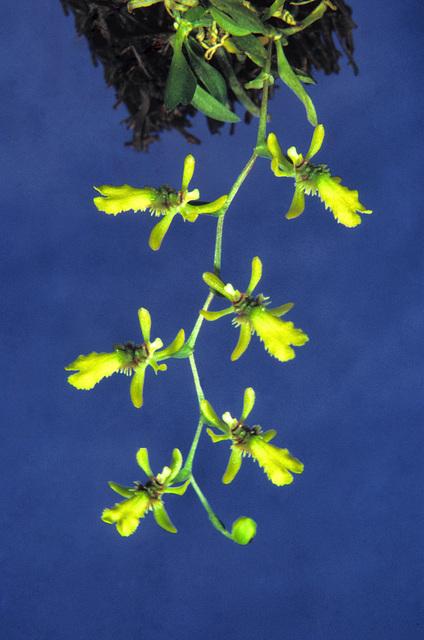 Chytroglossa marileoniae