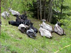 Cows in Fendels - Taking a break
