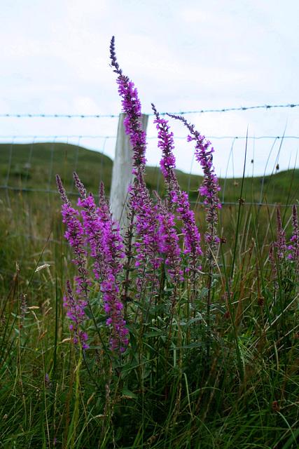 Flowers, Connemara, Co. Galway