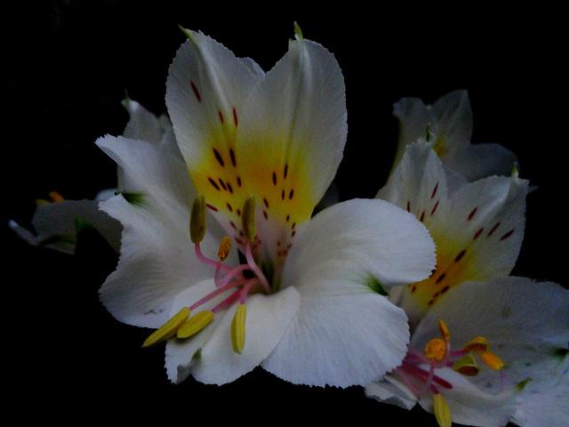 Alstroemeria-aurea