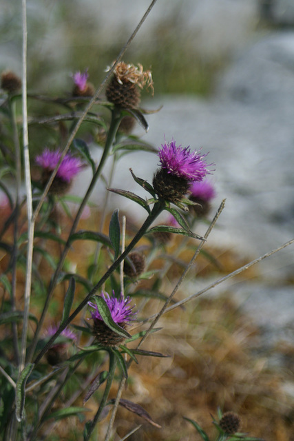 Thistles, The Burren, Co. Clare