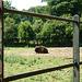 European Bison (1) - 6 July 2013
