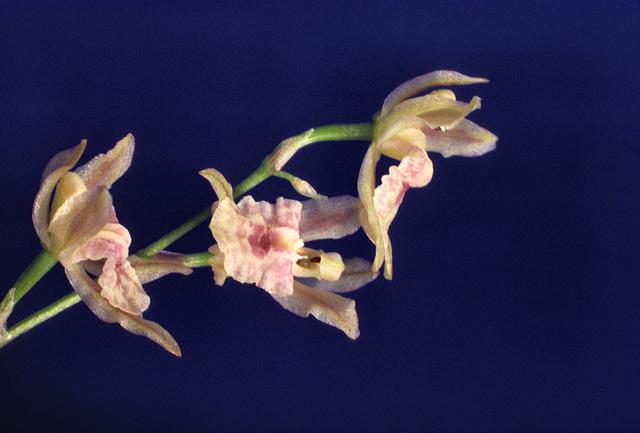 Gomochilus Rumrill Delicacy