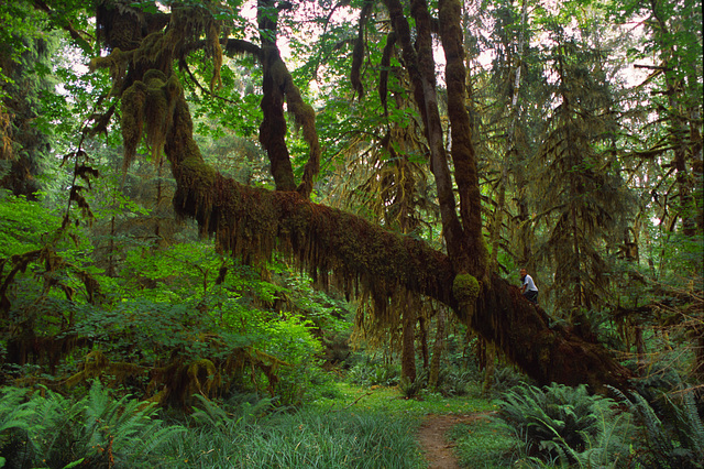 The Queets Rain Forest