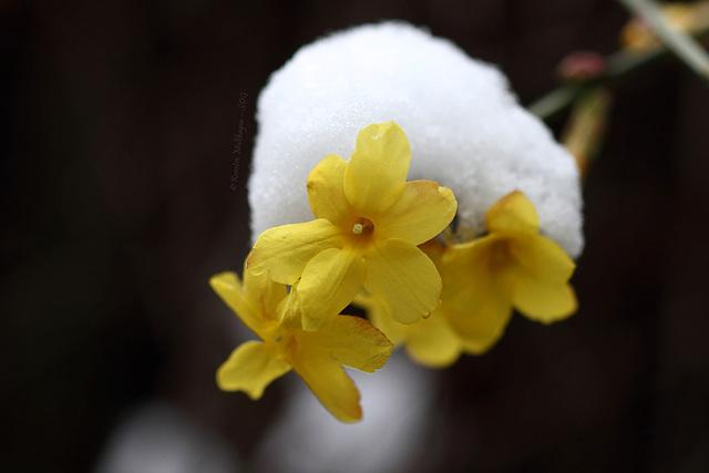 Blümchen mit Schneemützchen (Wilhelma)