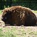 European Bison (2) - 6 July 2013