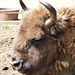 European Bison (3) - 6 July 2013
