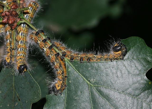 Buff-tip moth (Phalera bucephala) caterpillars