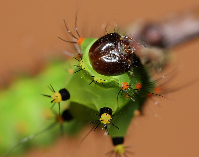 Indian moon moth (Actias selene) caterpillar, 3rd instar