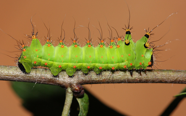 Indian moon moth (Actias selene) caterpillar, 3rd instar
