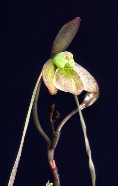 Epidendrum longipetalum