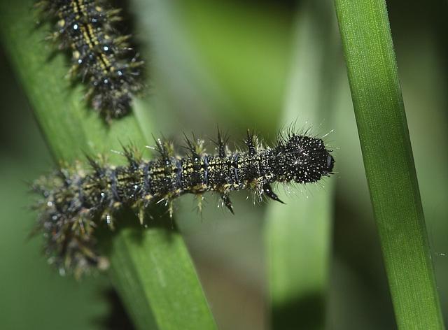 Small Tortoiseshell (Aglais urticae) caterpillar