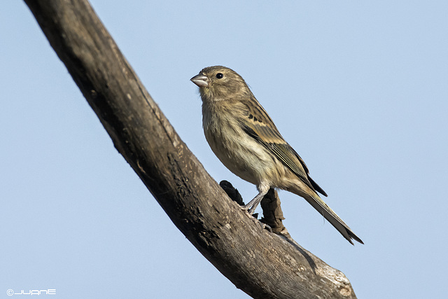 Canario silvestre, serinus canaria. Juvenil