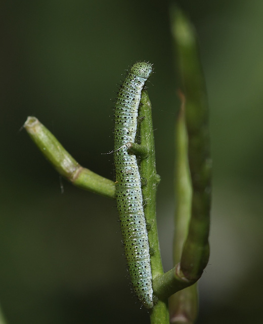 Orange Tip (Anthocharis cardamines) caterpillar