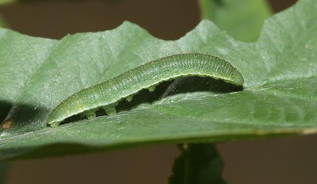 Brimstone (Gonepteryx rhamni) caterpillar