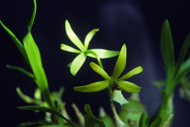 Encyclia tripunctata