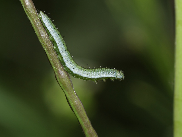 Orange Tip (Anthocharis cardamines) caterpillar