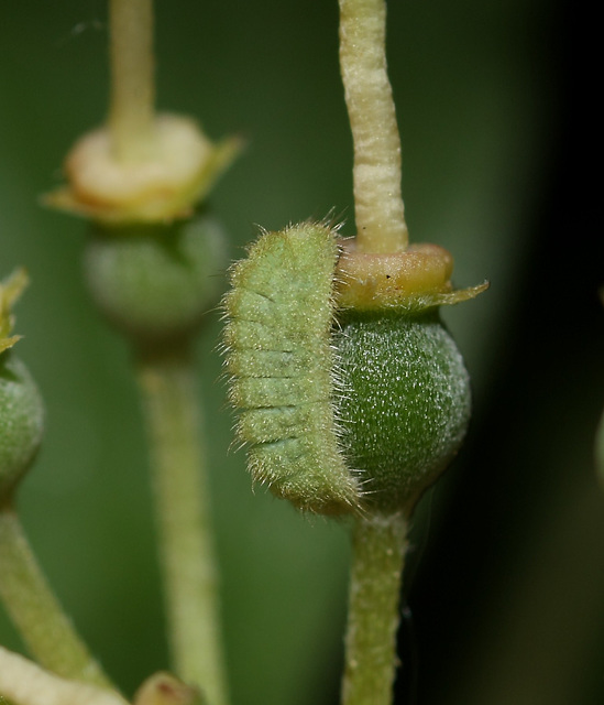 Holly Blue (Celastrina argiolus) caterpillar